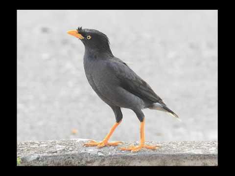 Kicau Burung Jalak Merdu Dan Asyik