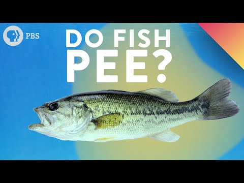 Do Fish Pee?