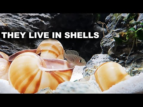 Shell dwelling fish, Planted aquariums and meeting king of DIY fans!