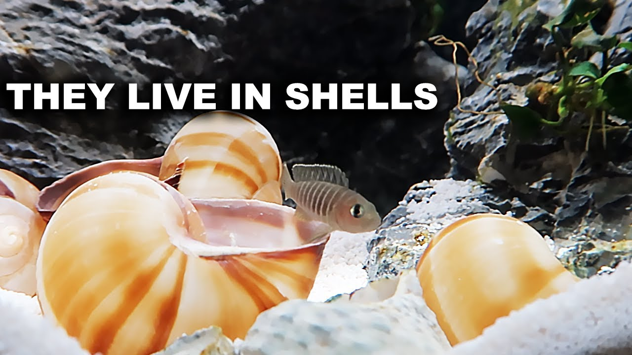 shell-dwelling-fish-planted-aquariums-and-meeting-king-of-diy-fans