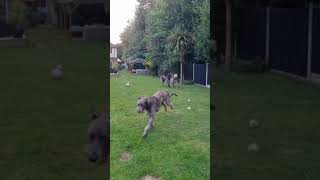 Domhnall stole a puppy toy!   Wolvebrigg Irish Wolfhounds