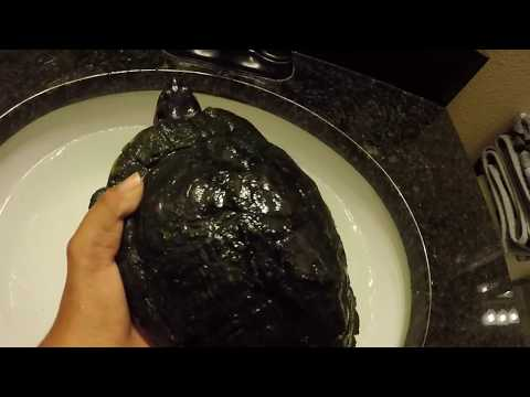 How To Clean Your Turtles Shell