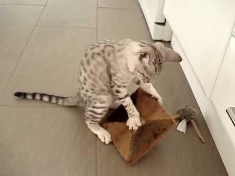 Gato Ocicat jugando - Ocicat cat playing