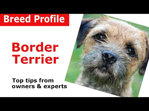 Border Terrier Dog Breed Guide