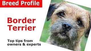 Border Terrier Dog Breed Guide