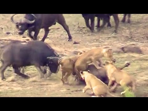 Thumbnail: Lions Attack Buffaloes - Another Battle at Kruger