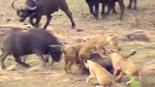 Lions Attack Buffaloes - Another Battle at Kruger