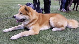 АКИТА-ИНУ. Выставка Планета собак 2016 (LKBA CACIB)