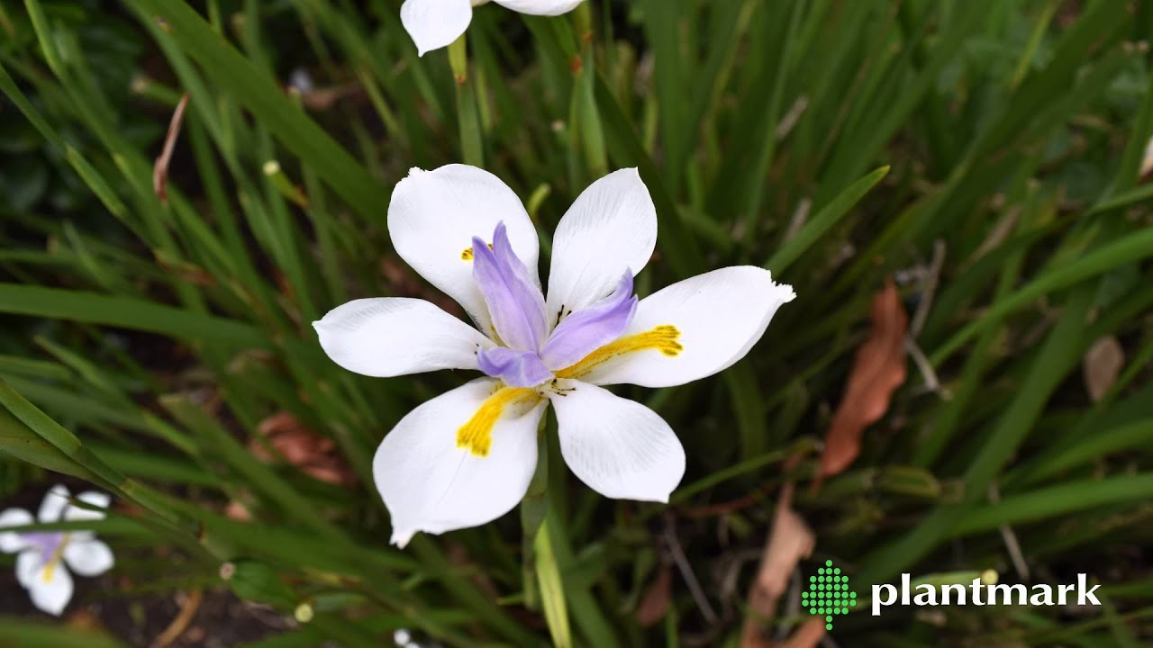Dietes sp butterfly iris at plantmark wholesale nurseries youtube butterfly iris at plantmark wholesale nurseries youtube izmirmasajfo