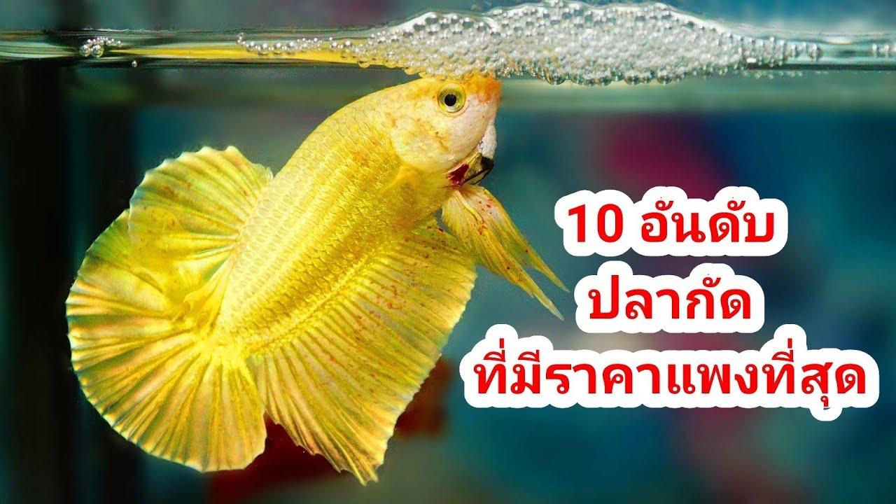 10 อันดับ ปลากัดสวยงาม ที่มีราคาแพงที่สุดในไลฟ์ประมูลอาจารย์น้อยมาแล้วมาแล้ว