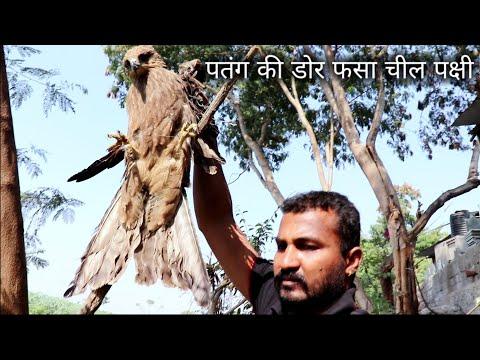 2 दिनों से पतंग की डोर में फसा चील पक्षी, Rescue Eagle Bird from Ahmednagar, maharashtra