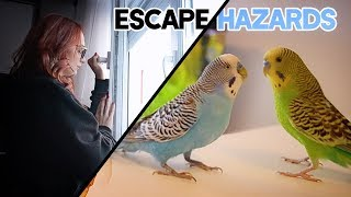 Budgie Escape Hazards | How to take care