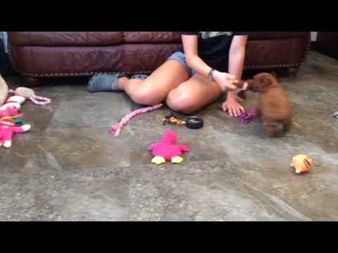 Bogo - toy poodle