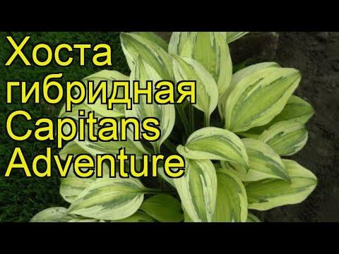 Хоста гибридная Капитан Адвенчур. Краткий обзор, описание hosta hybrida Capitans Adventure