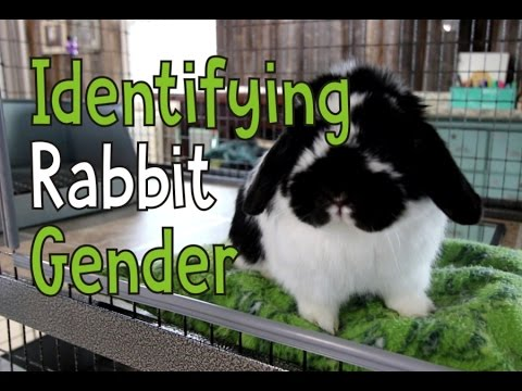 Identifying Rabbit Gender - Is My Bunny Male or Female?