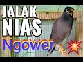 Jalak Nias Ngoceh Keras  Mp3 - Mp4 Download