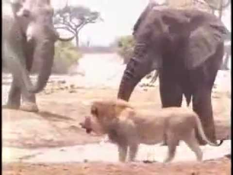 Three Elephants kill a Lion