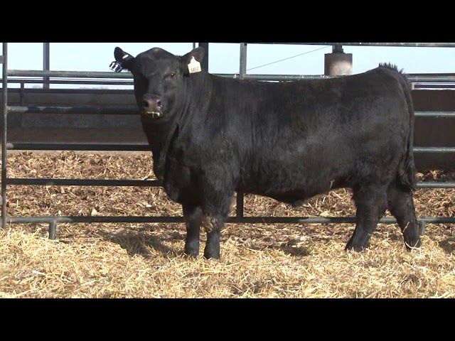 Schiefelbein Angus Farms Lot 117