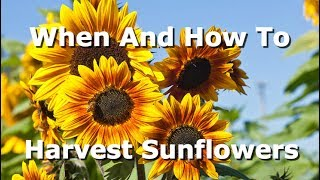 How To And When To Harvest Sunflowers, What Signs To Look For And How To Extract The Seeds