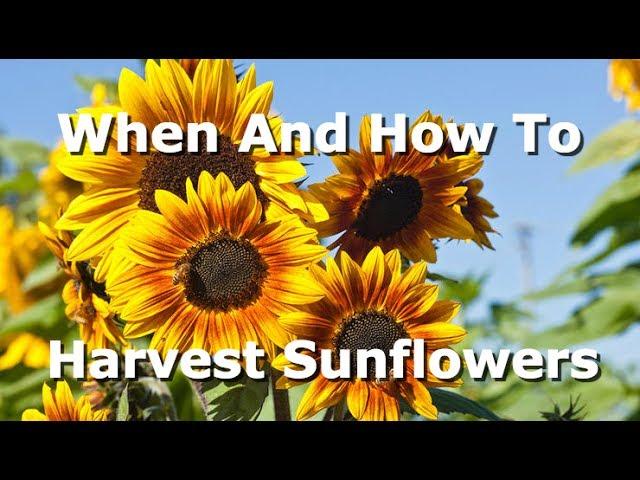 Sunflower Harvesting