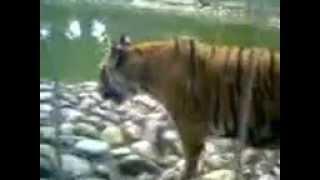 The Bengal Tiger also called Royal Tiger,Alipore Zoo,Kolkata,India
