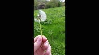 Soffione in slow motion - dandelion in Slow motion