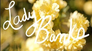 LADY BANKS ROSE: a Cinematic Garden Guide