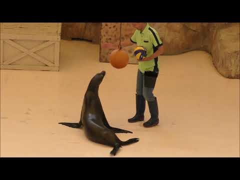 鳥羽水族館のアシカショー California sea lion at Toba Aquarium