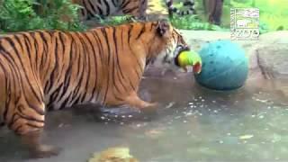 Tigers Get Cool Treats on a Hot Day - Cincinnati Zoo