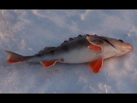 Ловля хищника на Каме зимой (судак, окунь, щука)
