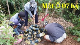 Catch a herd of 07 kg poisonous snakes in the forest