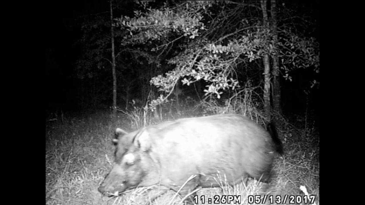 trail camera night 2 mysterious flying rods racoon wild hog
