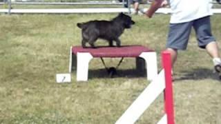 Uppercut Cairn Terrier Manche 1 Agility Cat A
