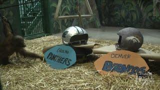 Zoo Animals Predict 2016 s Superbowl 50 Win