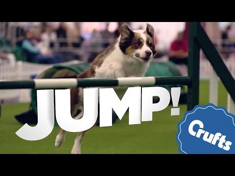 Jump! Amazing Agility Jumping | Van Halen Style