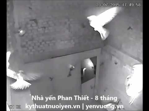 Nhà yến Phan Thiết - 8 tháng - Giờ chim về