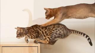 Изящная богиня. Абиссинская кошка. Породы кошек.