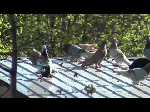 видео: Голуби из голубятни