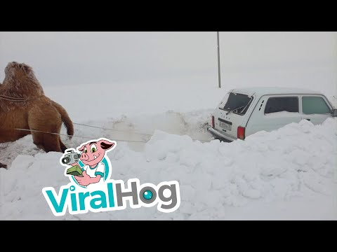 Camel Tows Car out of the Snow
