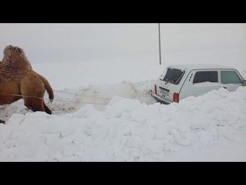 Nick Cash - Camel pull!