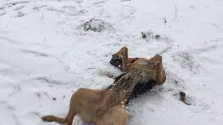 Овчарка и первый снег. Игры собак. Немецкая/ Восточноевропейская овчарка.