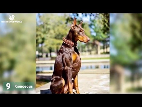 Top 10 Most liked Doberman photos and captions on Facebook