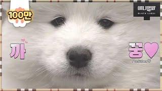 얘랑 눈싸움해서 지신분들 들어오세요 (저 먼저 들어갑니다..) ㅣ This Samoyed Dog Wants YOU. Come In!