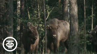В объективе – животные. Телята зубров (1981)