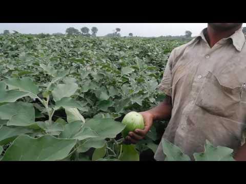 Fresh Brinjal  cultivation west Bengal