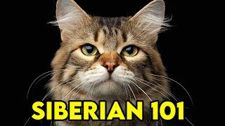 SIBERIAN Cat 101  EVERYTHING You NEED To Know!