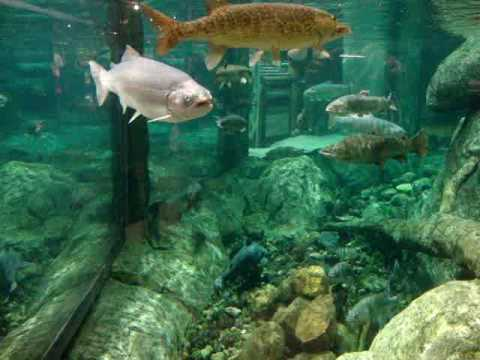 Bass pro shops auburn ny fishtank part 2 youtube for Bass pro monster fish