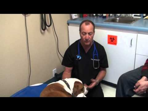 Tick Infection and Sore Joints in Dog