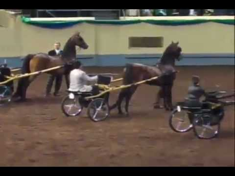 Morgan Horse Grand National 2012 Class 215 WC Pleasure Driving Amateur