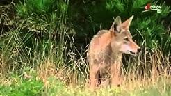 Das Überleben der Stärkeren Kojoten in Nordamerika   Teil 1